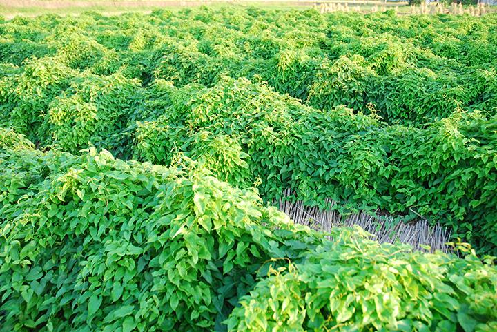 山の芋の栽培